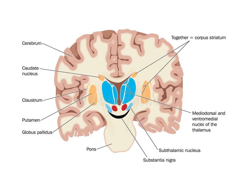 przecinający mózg jądra section pokazywać ilustracji