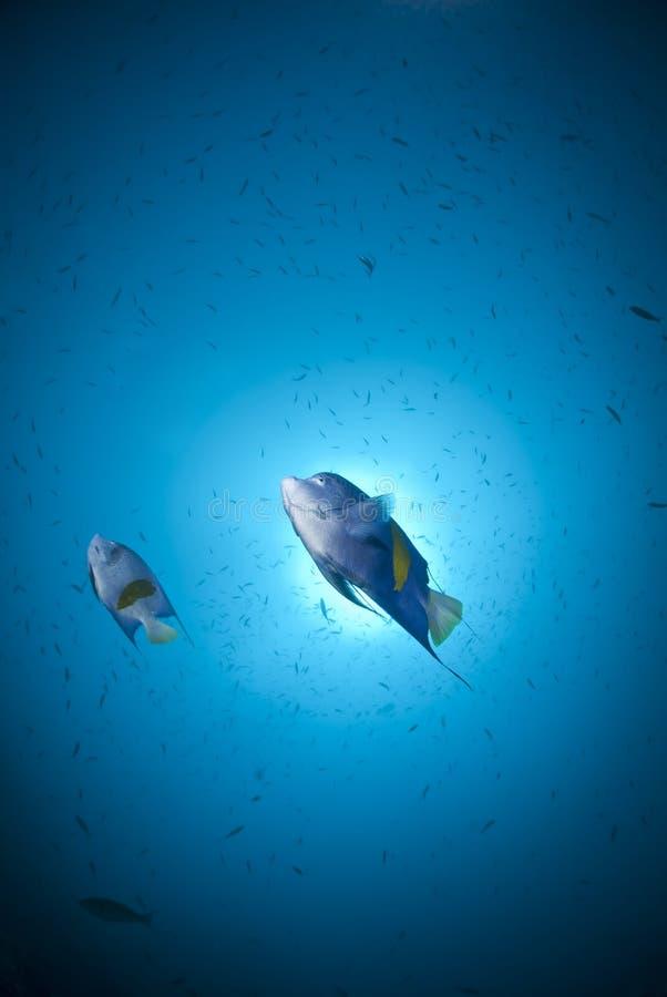 przeciw arabskiemu angelfish sunball dwa zdjęcie royalty free