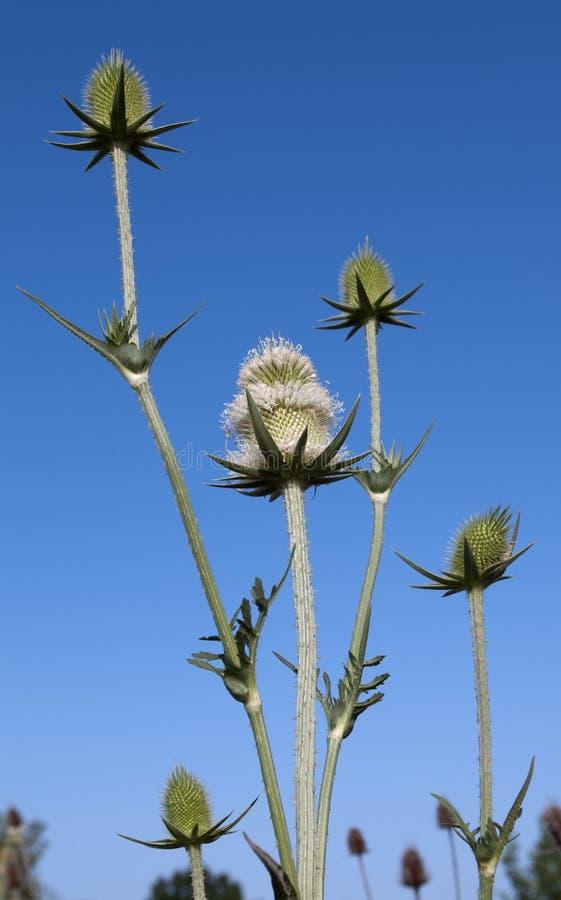przeciw błękitny kwiatów rośliien nieba lato teasel zdjęcie stock