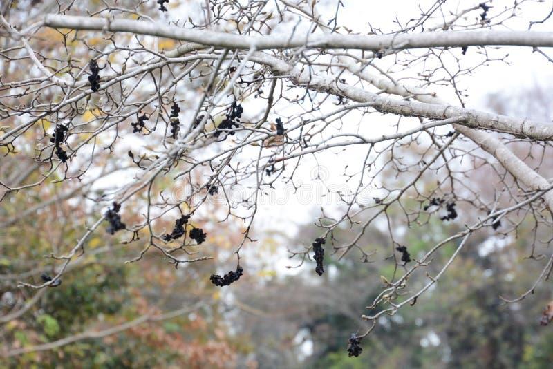 przeciw błękitny kwieceniu kwitnie kobus magnoliowego nieba drzewnego biel zdjęcie royalty free