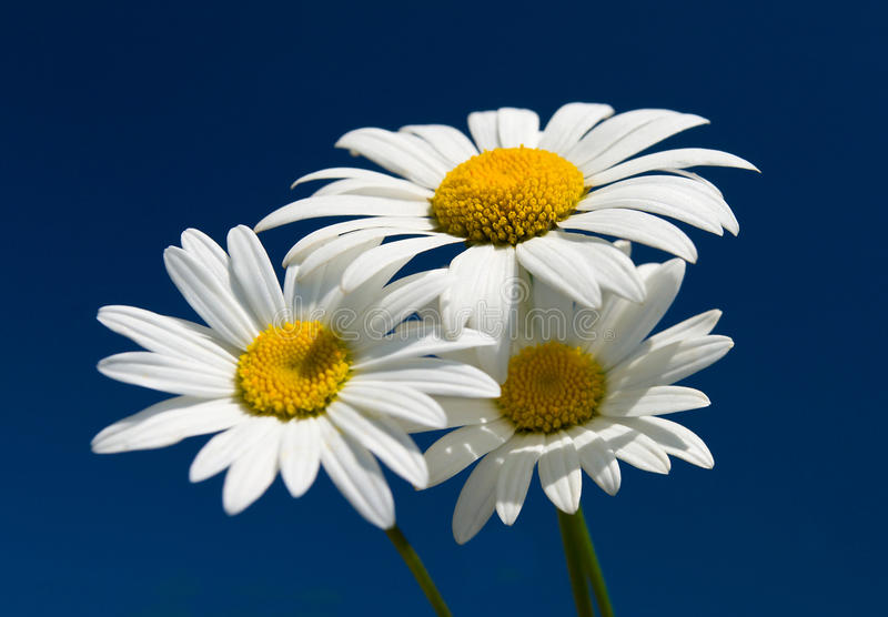 przeciw chamomiles błękitny niebu trzy fotografia royalty free