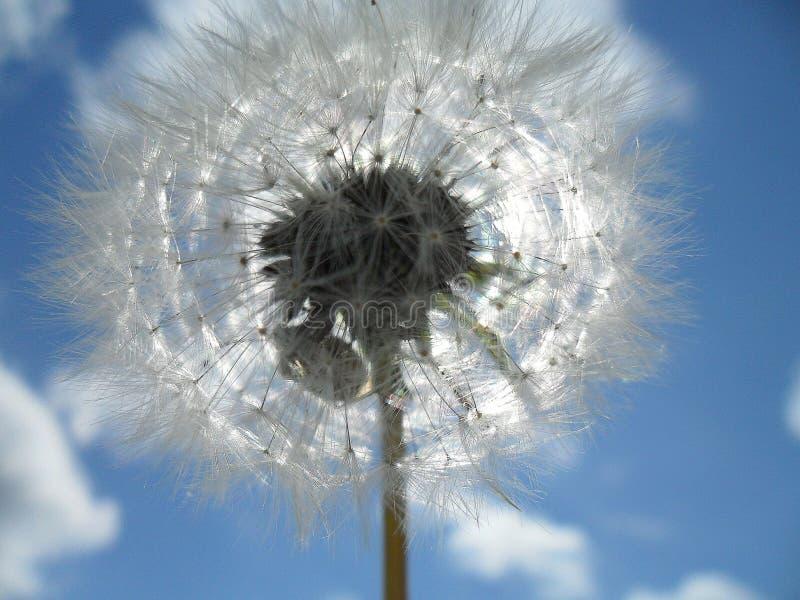 przeciw cios?w b??kit zamkni?tej kopii dandelion zmrokowi jeden sia nieba przestrze? w g?r? biel wiatru fotografia stock
