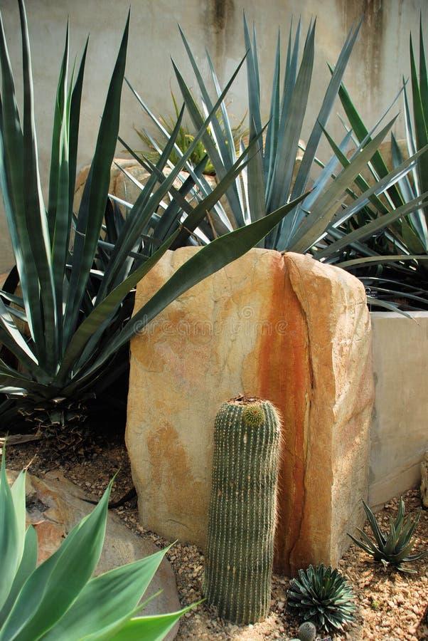 przeciw kaktusa kamienia sukulentów ścianie obraz royalty free