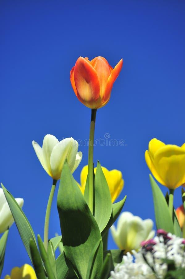 przeciw niebieskie niebo tulipanom obraz stock