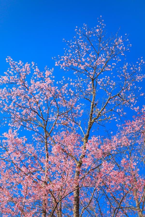 przeciw pięknego okwitnięcia błękitny czereśniowemu niebu obraz royalty free