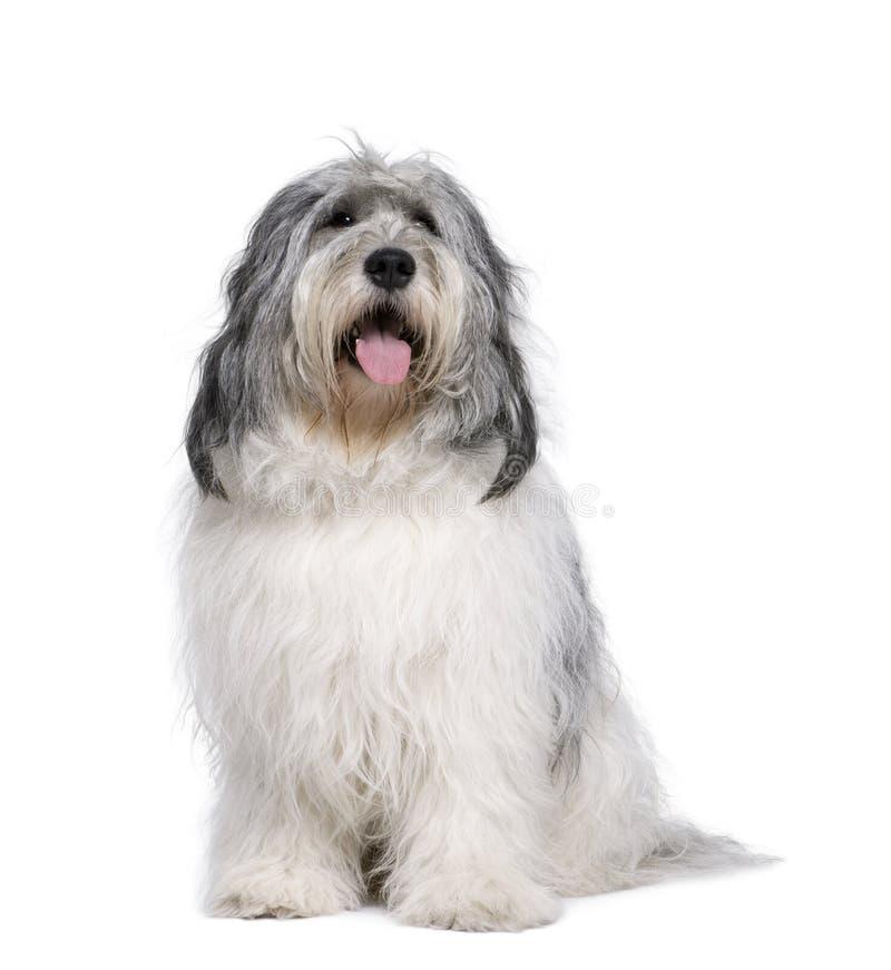 przeciw tła niziny połysku sheepdog biel zdjęcia stock