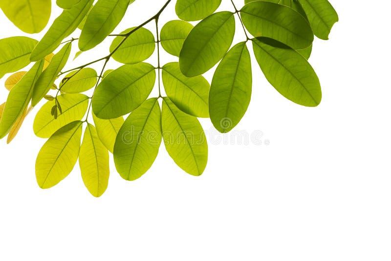 przeciw tła zieleni liść biel fotografia royalty free