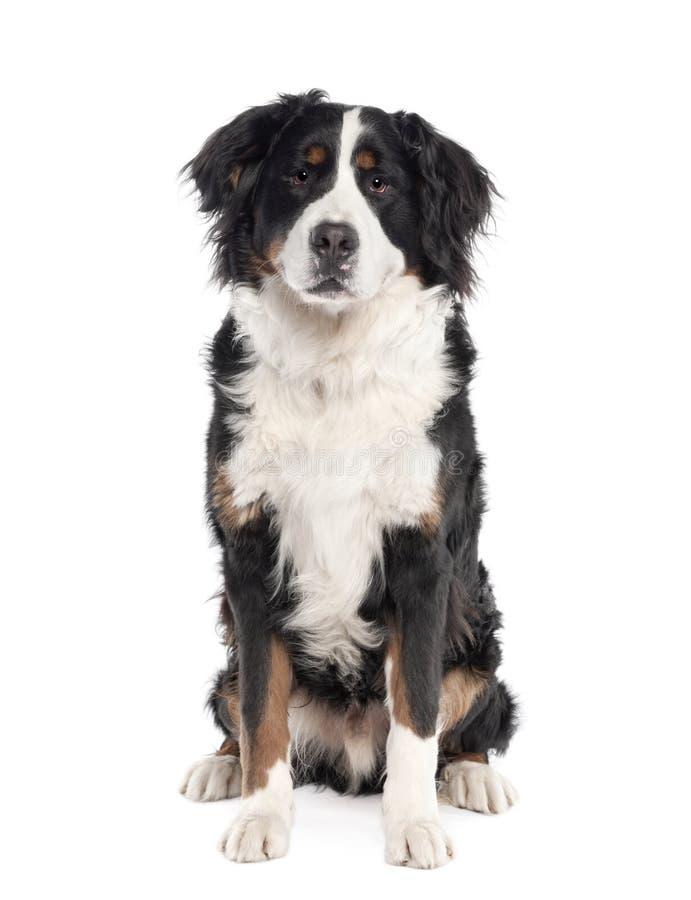 przeciw tło biel bernese psiemu halnemu zdjęcia stock