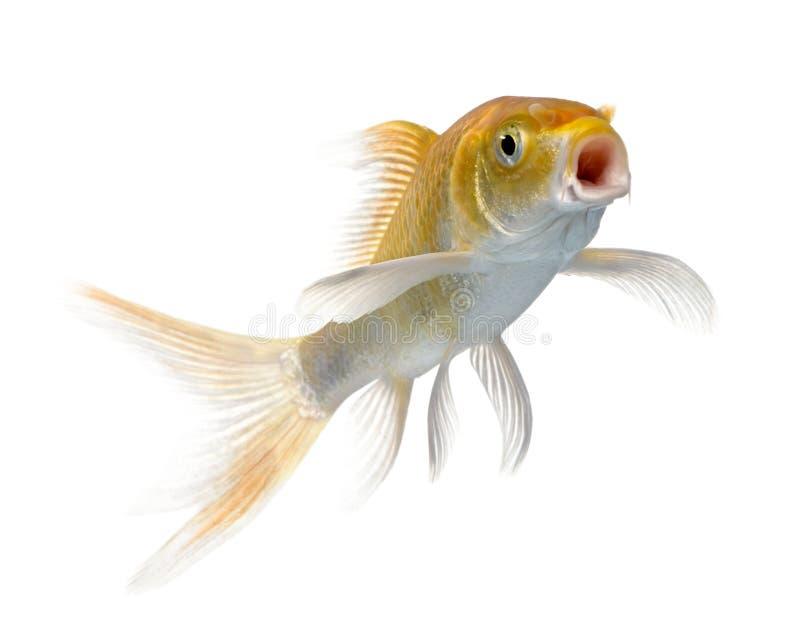 przeciw tło biel karpiowemu pomarańczowemu pływackiemu fotografia royalty free