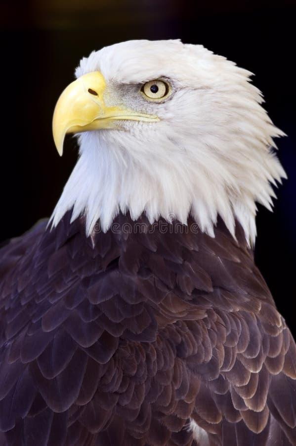przeciwko łysemu czarnego orła haliaeetus leucocephalus fotografia royalty free