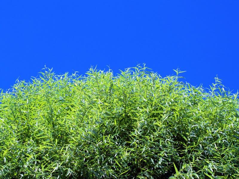 przeciwko błękitnemu nieba liściach światła słonecznego drzewo obrazy stock