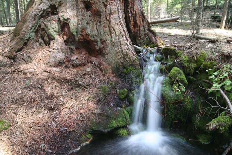 przeciwko creek gigantycznej leśną małej sekwoi zdjęcie stock