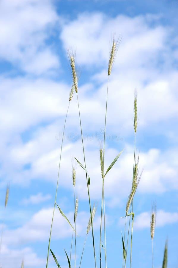 przeciwko nieba chmurnego pszenicy zdjęcia stock