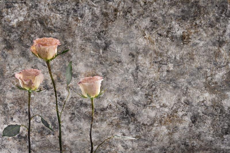 przeciwko starej różę ścianie zdjęcia stock