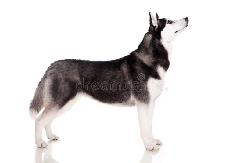 przedstawienie psi łuskowaty siberian obraz stock