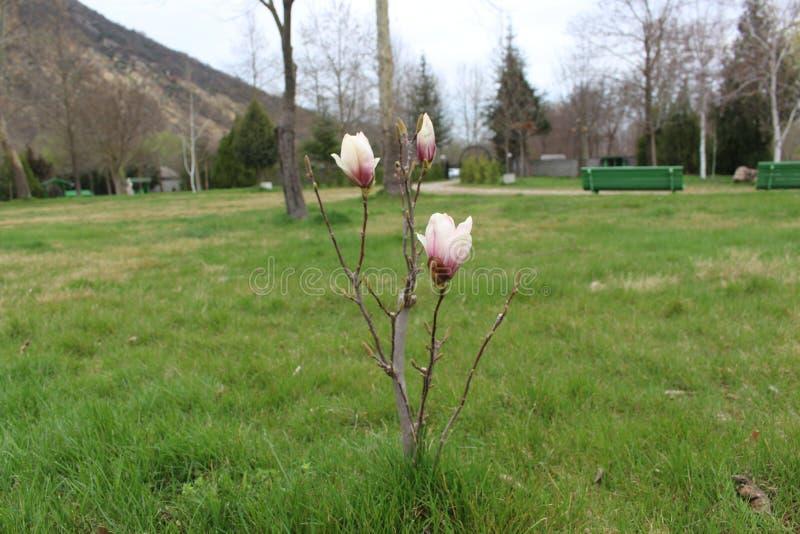 Przedwiosenny kwiat przeciw tłu monasteru kompleks Rupite obrazy royalty free