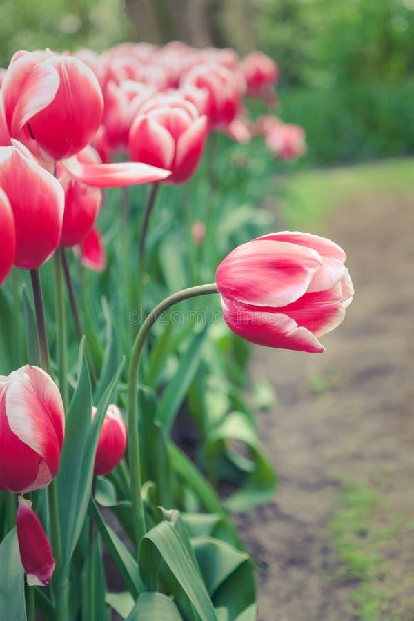 Przegięty tulipan fotografia royalty free