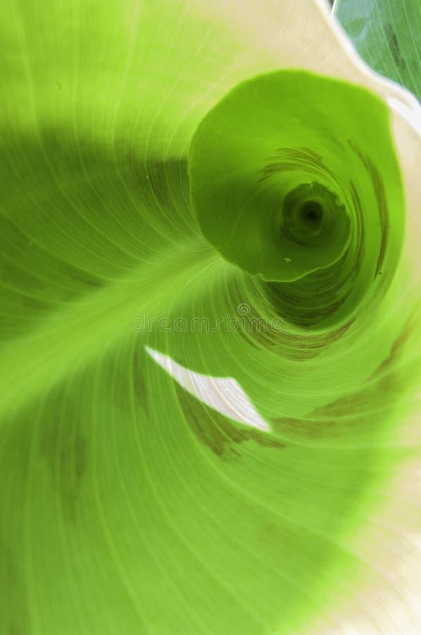 Przegląda wśrodku nowego zielonego bananowego liścia, zielony tło obraz stock