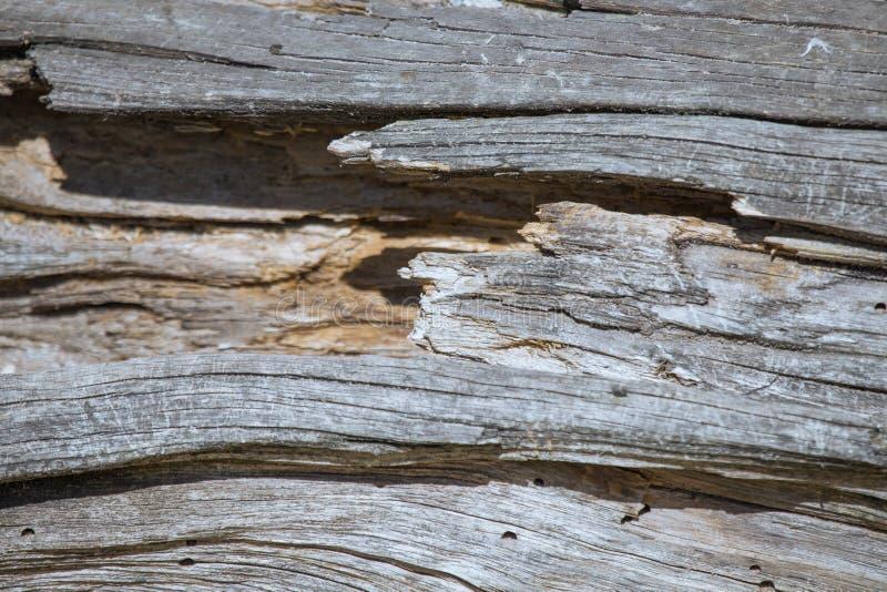 Przegniła drewniana tekstura stary nieżywy drzewo zdjęcie stock
