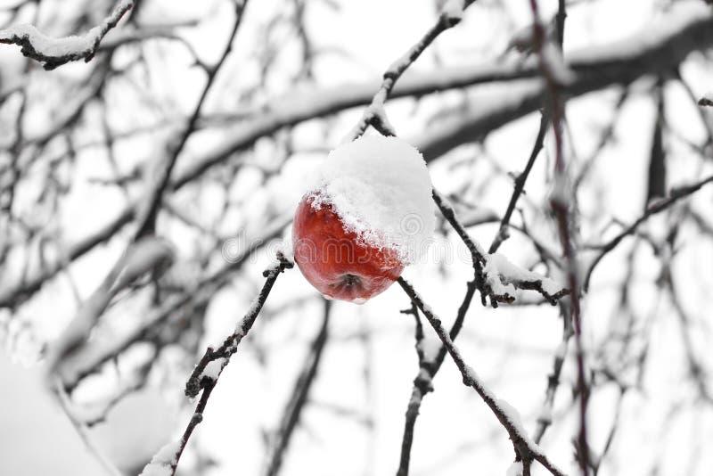 Przegniły jabłko na drzewie zdjęcie royalty free