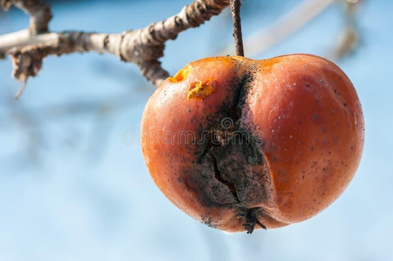 Przegniły jabłko na drzewie w Styczniu zdjęcie royalty free
