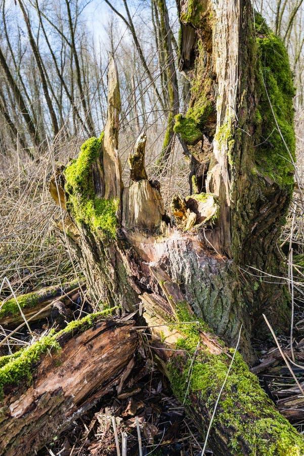 Przegniły zielony mechaty drzewny bagażnik od zakończenia obrazy royalty free