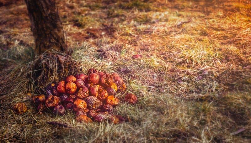 Przegnili jabłka w ogródzie fotografia stock