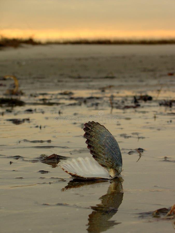 przegrzebek plażowa skórki zdjęcie royalty free