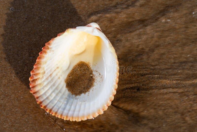 Przegrzebek Shell na mokrym piasku na pla?y przy wschodem s?o?ca Pectinidae Naturalny Seashell fotografia royalty free