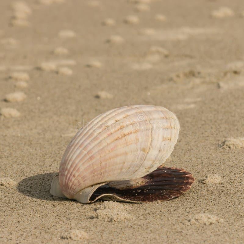 Przegrzebka seashell lying on the beach na piaskowatej plaży obraz royalty free