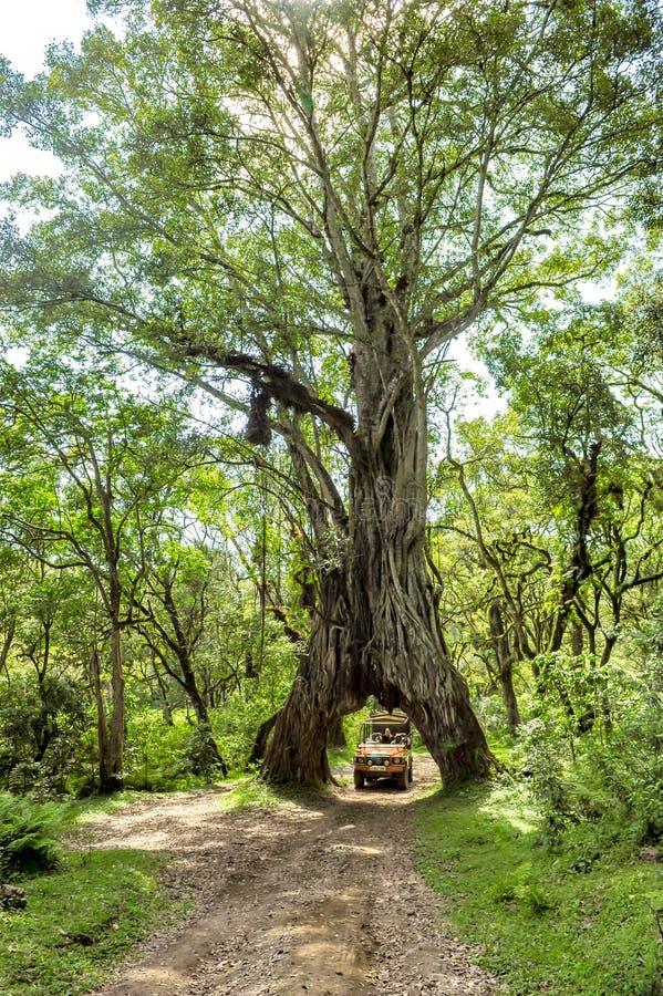 Przejażdżki jeżdżenie przez figi drzewa, Ficus drzewo z dziurą dla samochodu obrazy stock