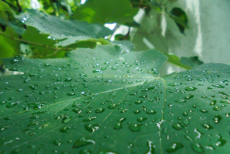 Przejrzyści raindrops na zielonym liściu winogrona obraz stock