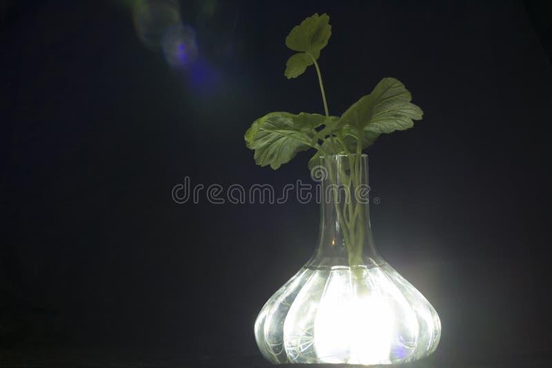 Przejrzysta waza z intensywną białą łuną z korzeniami roślina bodziszek widoczny, zdjęcie stock
