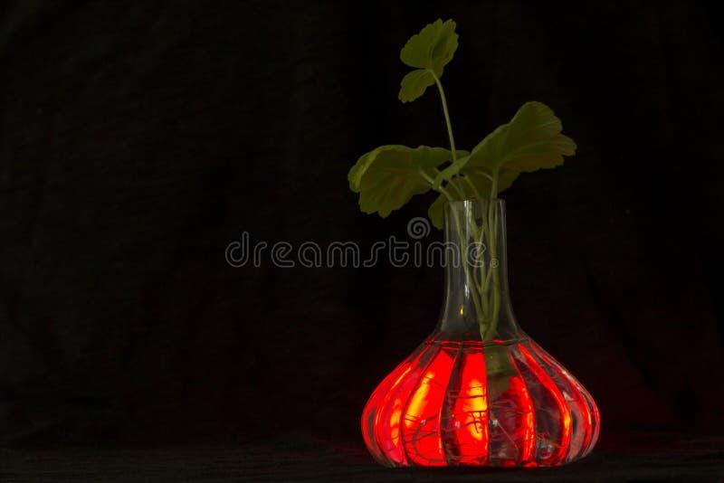 Przejrzysta wazowa rozjarzona czerwień z korzeniami roślina bodziszek widoczny, obraz royalty free