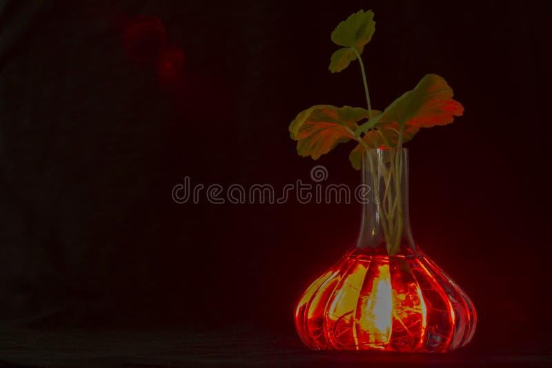 Przejrzysta wazowa rozjarzona czerwień z korzeniami roślina bodziszek widoczny, zdjęcia royalty free