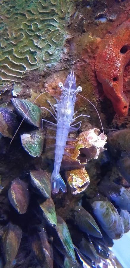 Przejrzysty crustacean w akwarium Michin zdjęcie stock