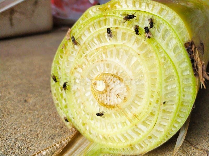 Przekrój poprzeczny bananowy badyl bije bydło z komarnicą obraz stock