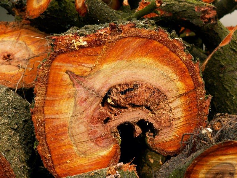 Przekrój poprzeczny przez śliwkowego drzewnego bagażnika wystawia cortex, pomarańcze coloured pierścionki, drewna i drewno adry ilustracja wektor