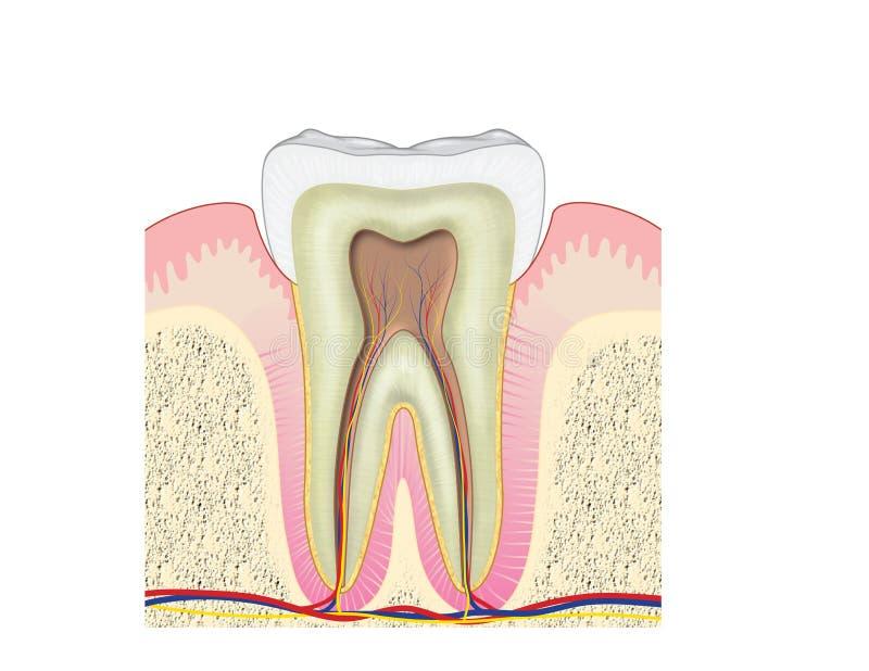 Przekrój poprzeczny przez zębu ilustracji