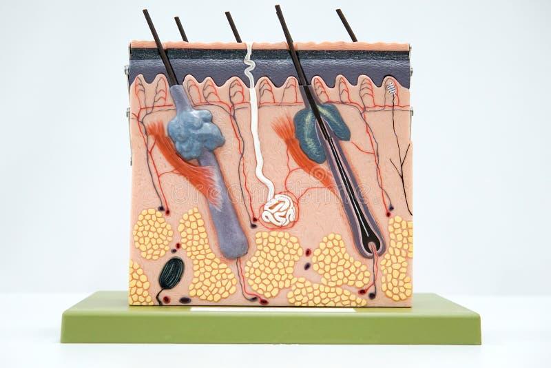 Przekrój poprzeczny skóry tkanki ludzki model obrazy royalty free