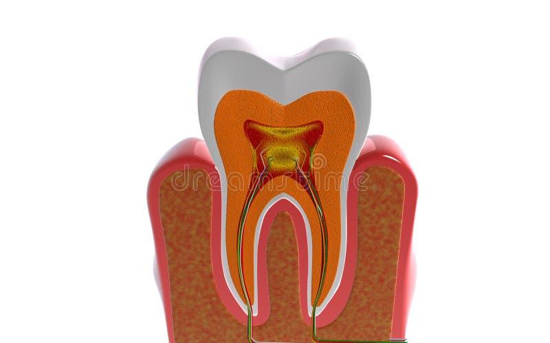 przekrój poprzeczny zęby ilustracji