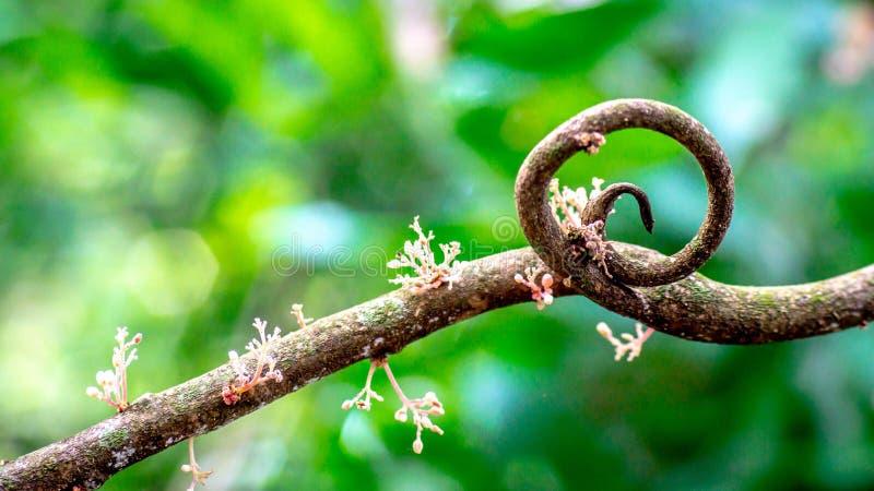 Przekręca gałąź drzewo z kwiatem w lesie fotografia stock