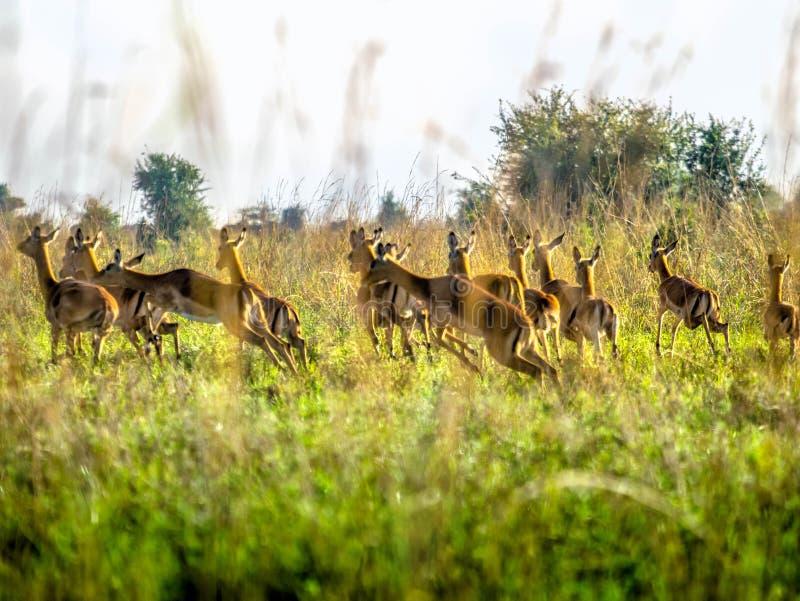 Przelękłe Impala antylopy biega na Afrykańskiej sawannie, Kenja fotografia royalty free