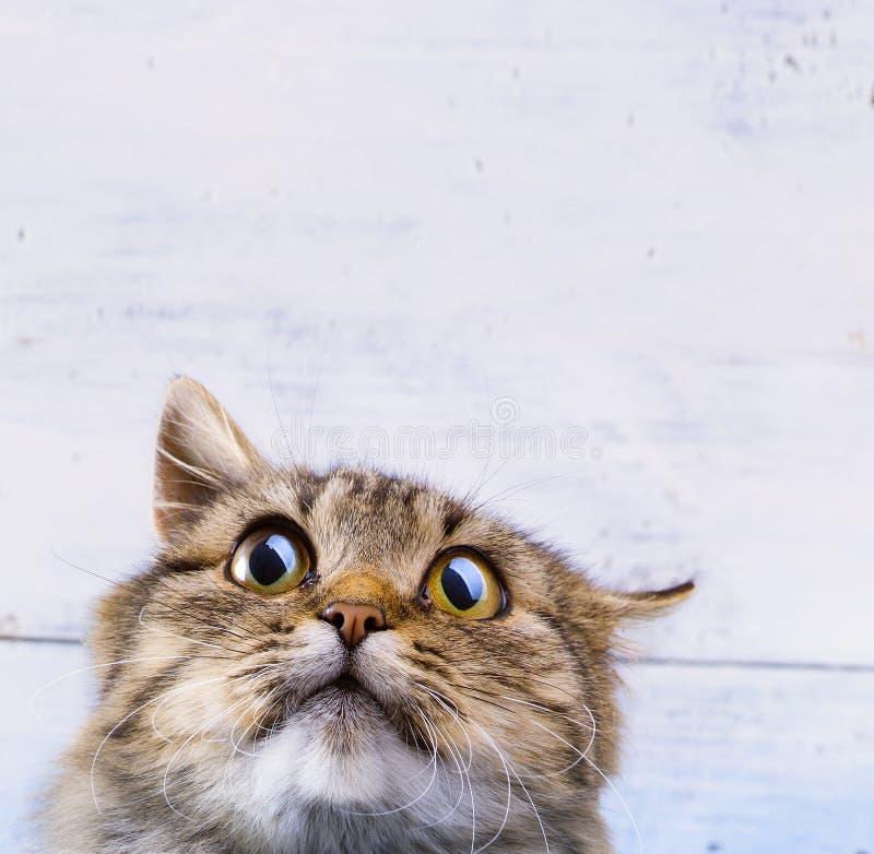 Przelękły i zdziwiony Szary kot przyglądający z szeroko otwarty oczami up obraz stock