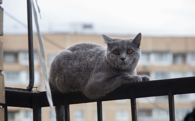 Przel?k?y i zdziwiony Szary kot przygl?daj?cy z szeroko otwarty oczami up fotografia stock