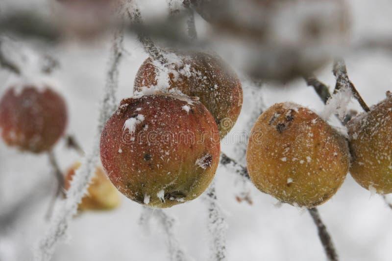 Przelewający się jabłka z lodem i śniegiem zdjęcia royalty free