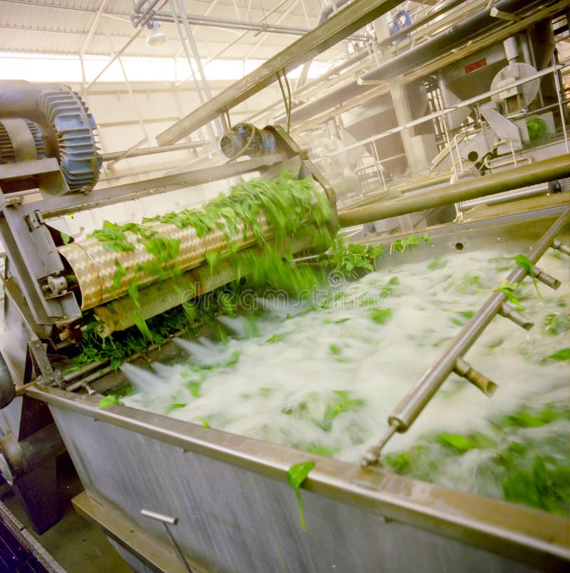 Przemysł spożywczy, szpinak płuczkowa balia obraz royalty free