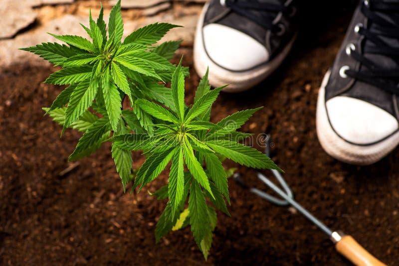 Przemysłowego konopie roślina wewnątrz od ogrodnictw narzędzi i ziemi fotografia royalty free