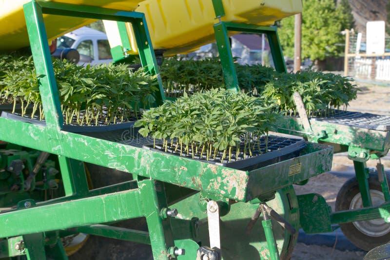 Przemysłowego konopie rozsady na plantatorze obraz royalty free