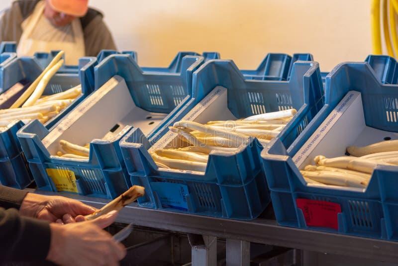 Przemysłowy przerób i domycie biały szparagowy warzywo na rolniczym gospodarstwie rolnym, przygotowanie dla sprzedaży obrazy royalty free